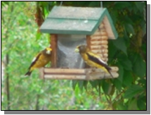 Utah Evening Grosbeak