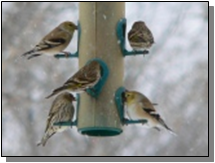 Utah Lesser Goldfinches near the Paiute Trail