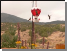 Utah Black-chinned Hummingbirdsnear the Paiute Trail